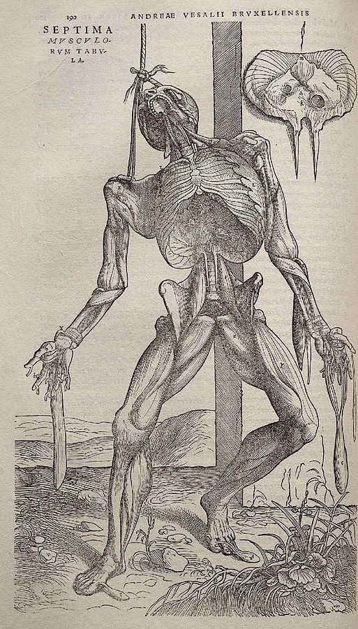 513px-Andreas_Vesalius_-_Dissected_human_body_-_WGA25036