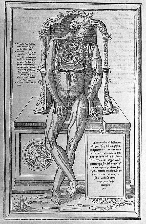 591px-Body,_opened_to_reveal_organs,_by_Vesalius._Wellcome_L0003672