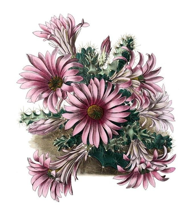 Echinocereus berlandieri