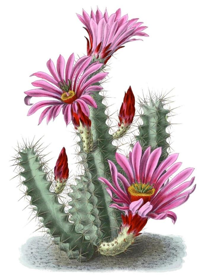 Echinocereus enneacanthus ssp. brevispinus