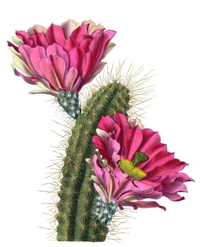 Echinocereus fendleri