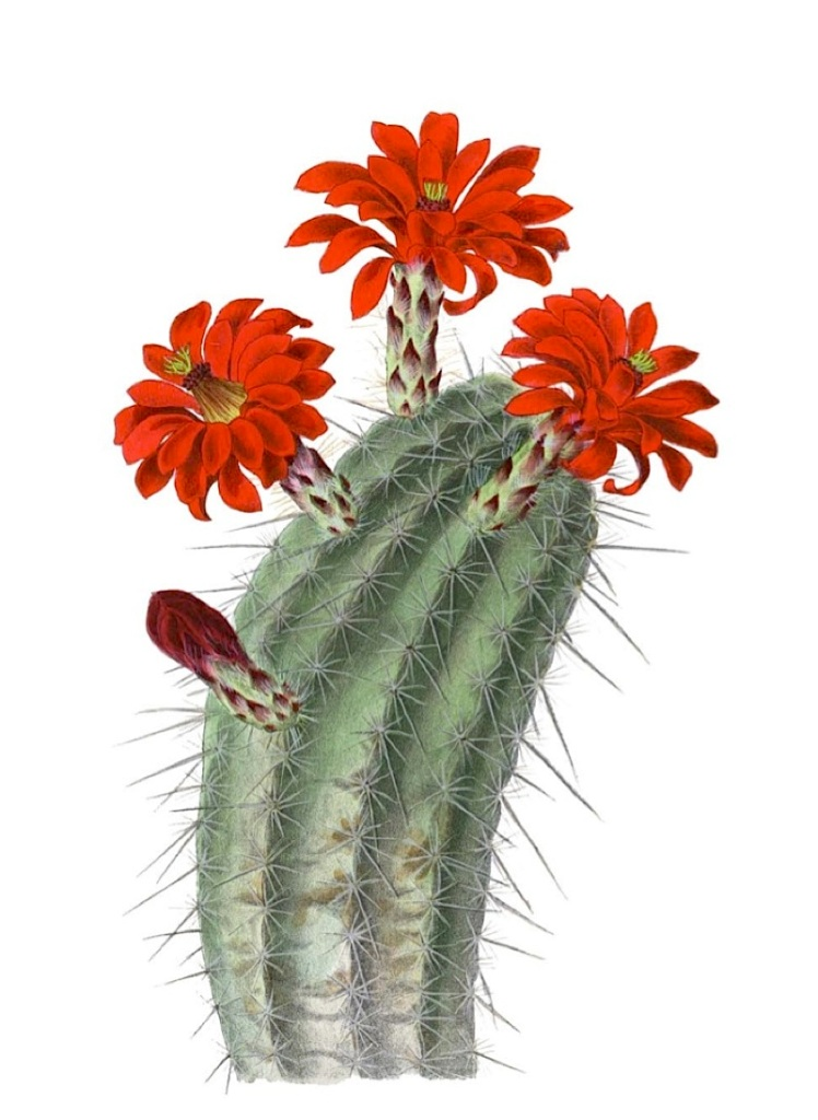 Echinocereus polyacanthus subsp. polyacanthus