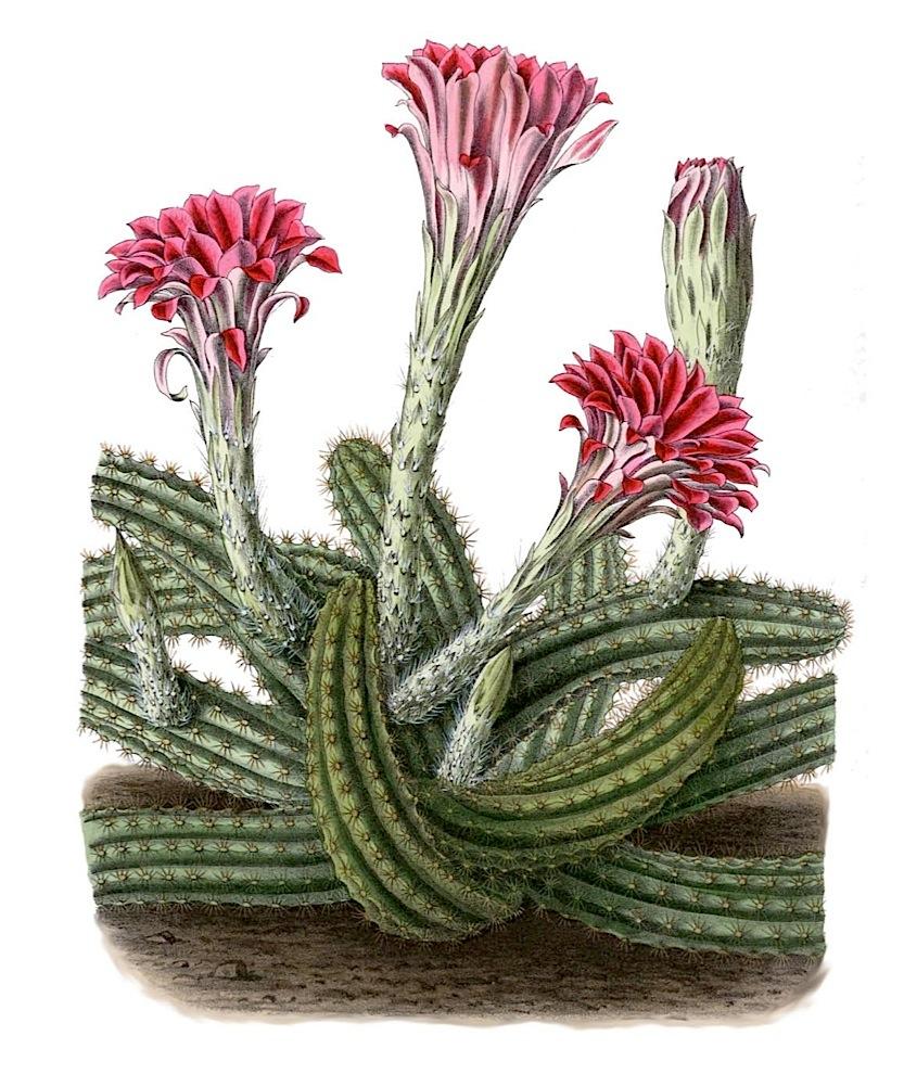 Echinocereus scheeri
