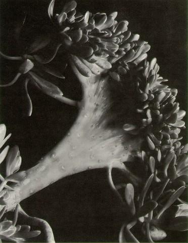 Succulent_Imogen_Cunningham_1920
