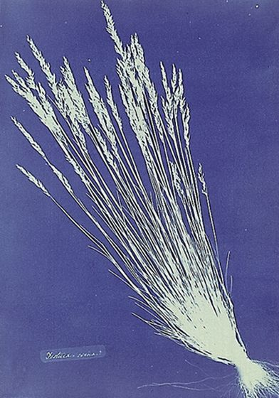 Anna_Atkins_grass_cyanotype