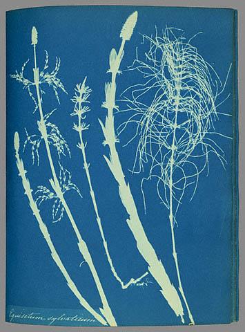 Anna_Atkins_woodhorsetail_cyanotype